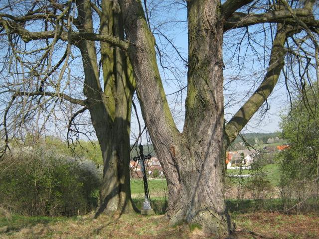 Lípa v Doubravce soutěží o strom roku